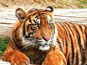 Download Amazing Tigers Screensaver