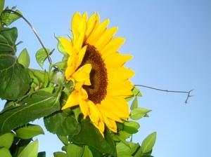Download Beautiful Sunflowers Screensaver