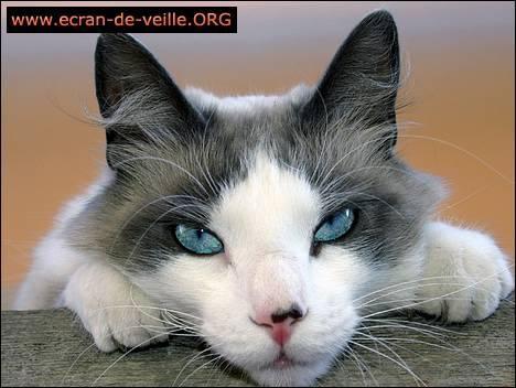 Download Cat Screensaver EV