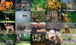 Download Deer Photo Screensaver