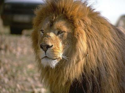 Download Lions Free Screensaver