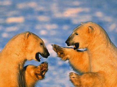 Download Polar Bears Free Screensaver