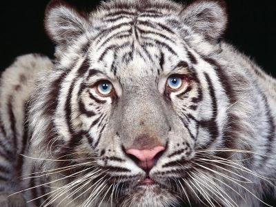 Download Tigers Free Screensaver